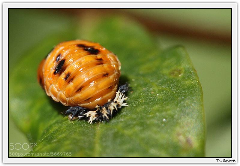photograph larve de coccinelle by salard thierry on 500px. Black Bedroom Furniture Sets. Home Design Ideas