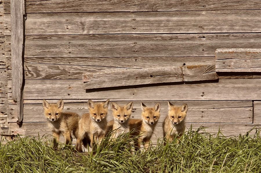 Fox Kits Saskatchewan Canada by Mark Duffy on 500px.com