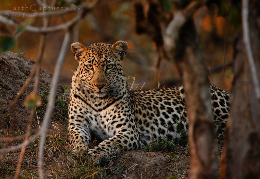Photograph Leopard at sunset by Sue Berry on 500px