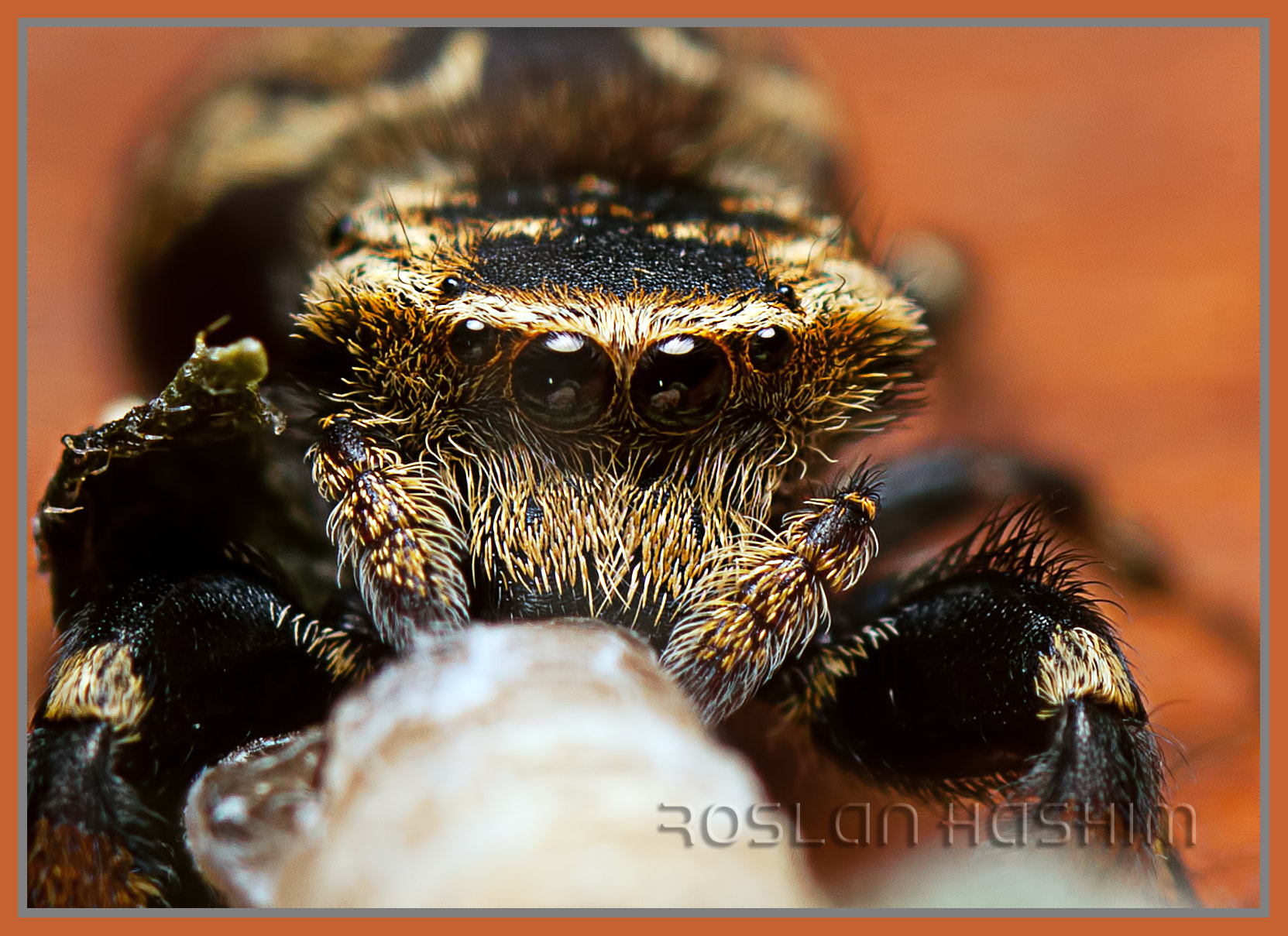 Photograph Jumping Spider by Roslan Hashim on 500px