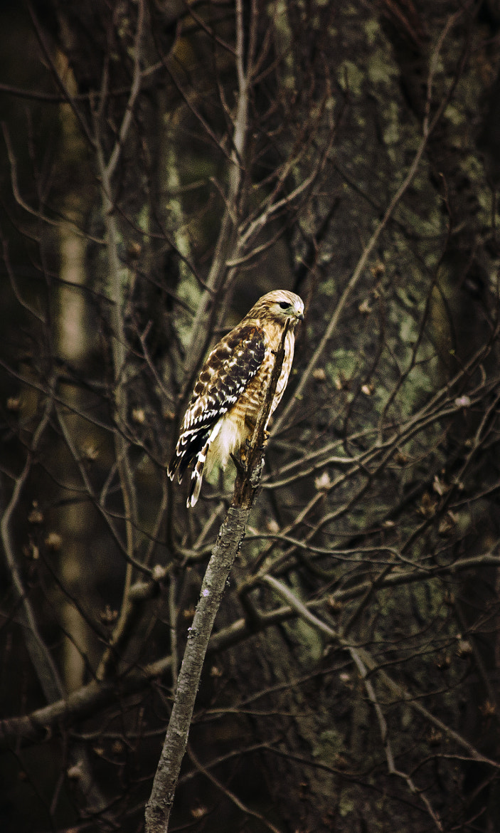Photograph Red Tail by Michael Carlton on 500px