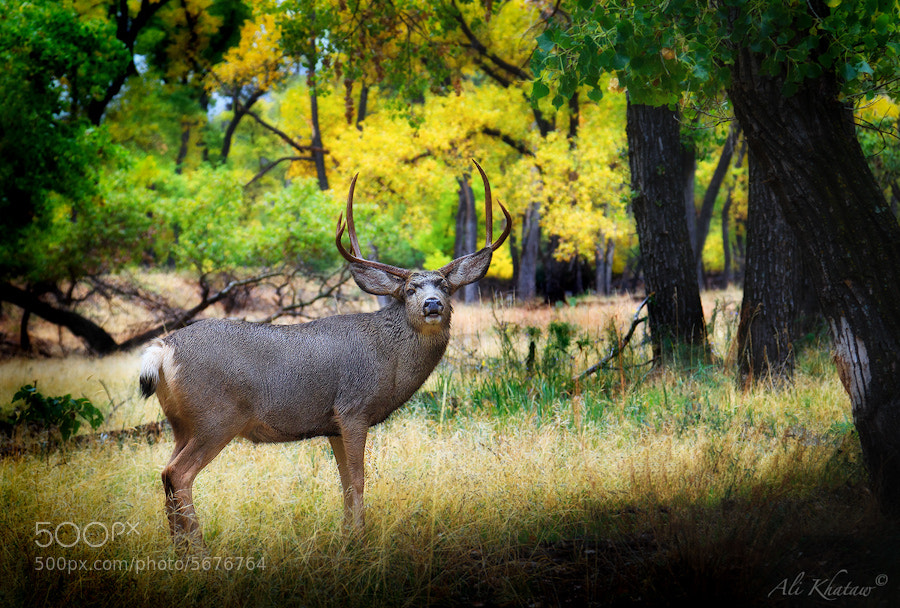 Photograph Mule Deer at Zion National Park by Ali Khataw on 500px