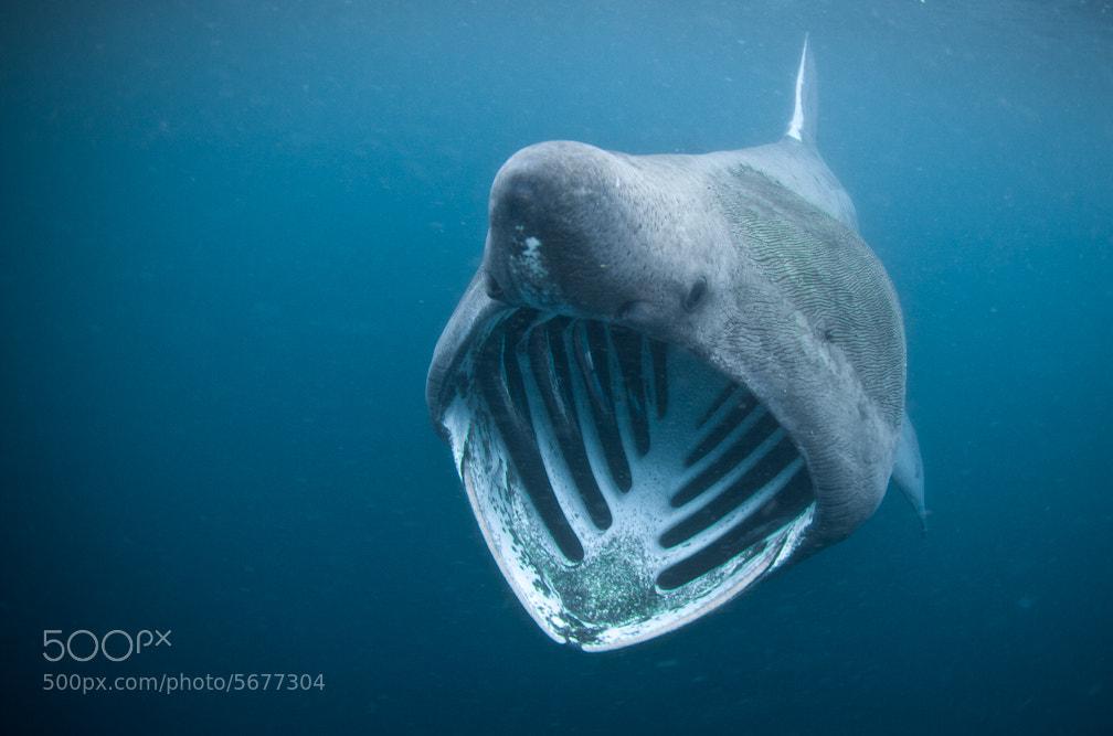 Photograph Basking Shark by Jody MacDonald on 500px