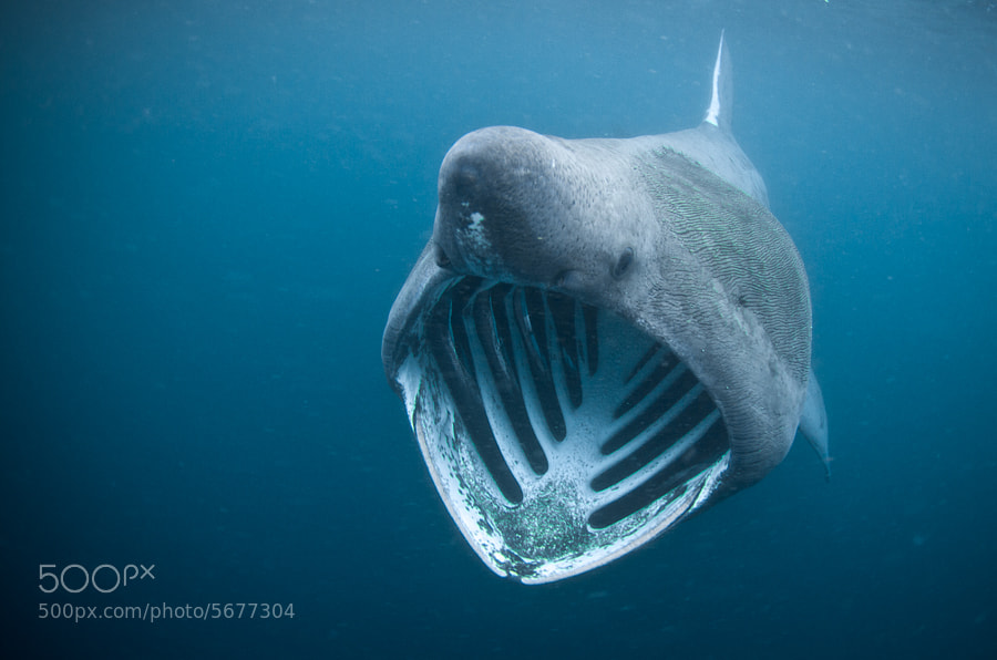 Basking Shark by Jody MacDonald on 500px.com