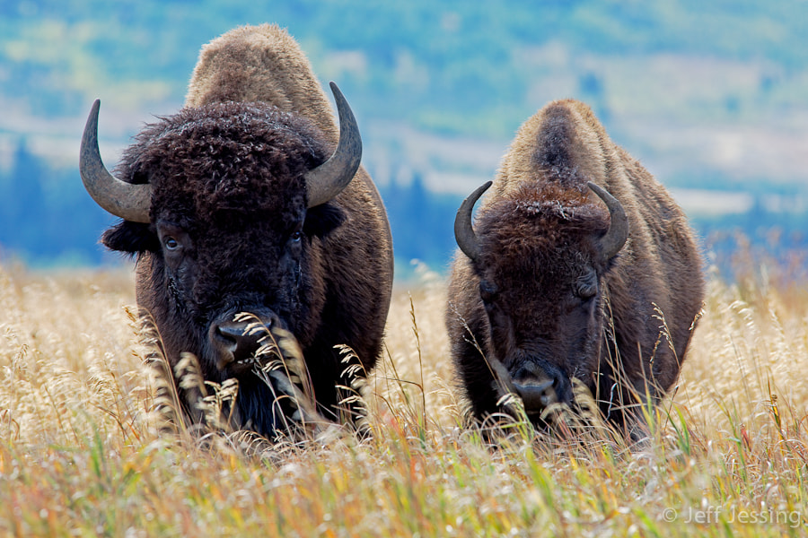 Photograph Bison Pair by Jeff Jessing on 500px