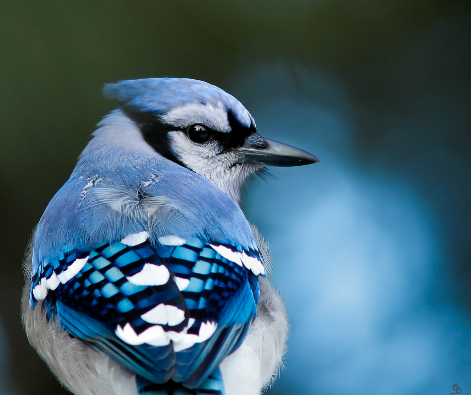 Photograph Blue jay by Mario Brouard on 500px