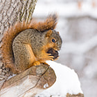 ������, ������: Squirrel Feasts in the Snow