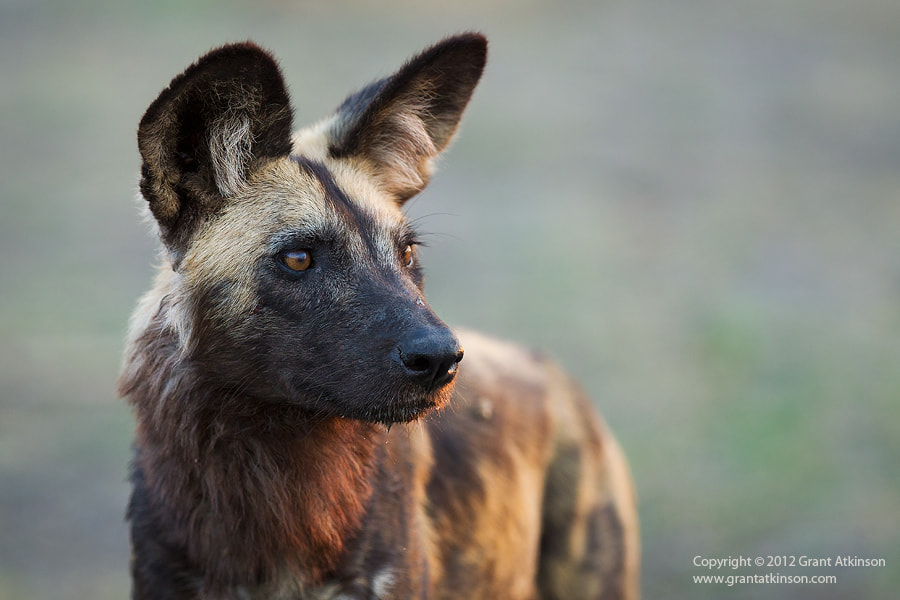 Photograph An Intent African Wild Dog by Grant Atkinson on 500px