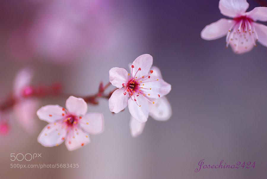 Spring in purple ♥ by Jose Maria Ramos Montero (Josechino2424) on 500px.com
