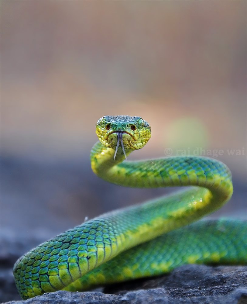 Photograph bamboo pit viper by raj dhage on 500px