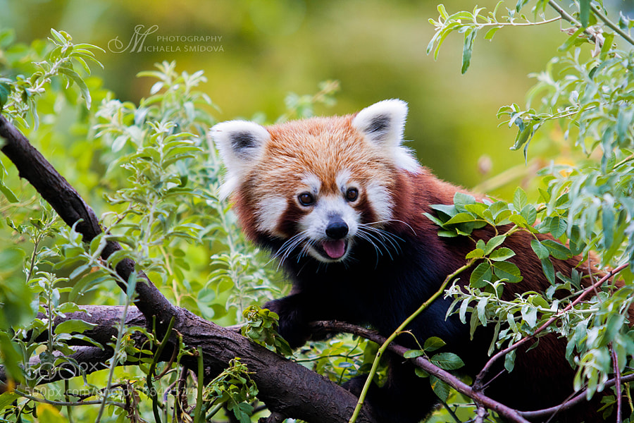Photograph Red Panda by Michaela Smidova on 500px