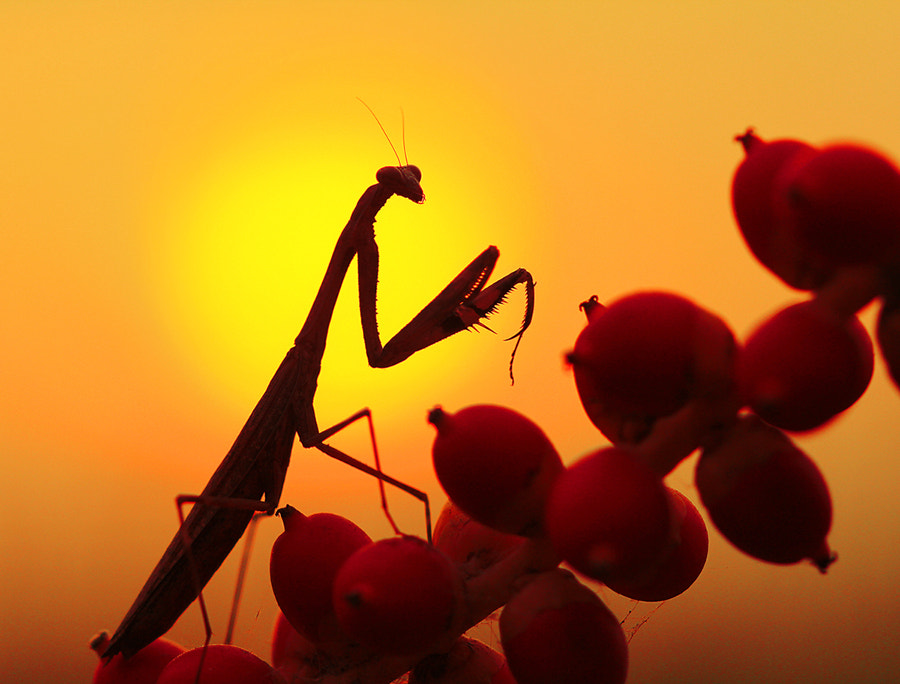 Photograph Mantis by Prachit Punyapor on 500px