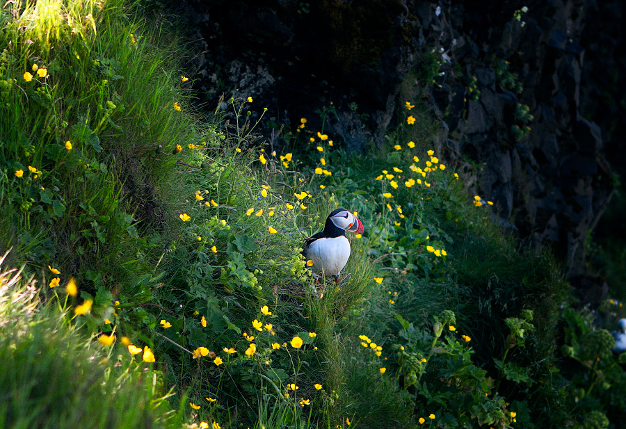 Puffin at Vik cape
