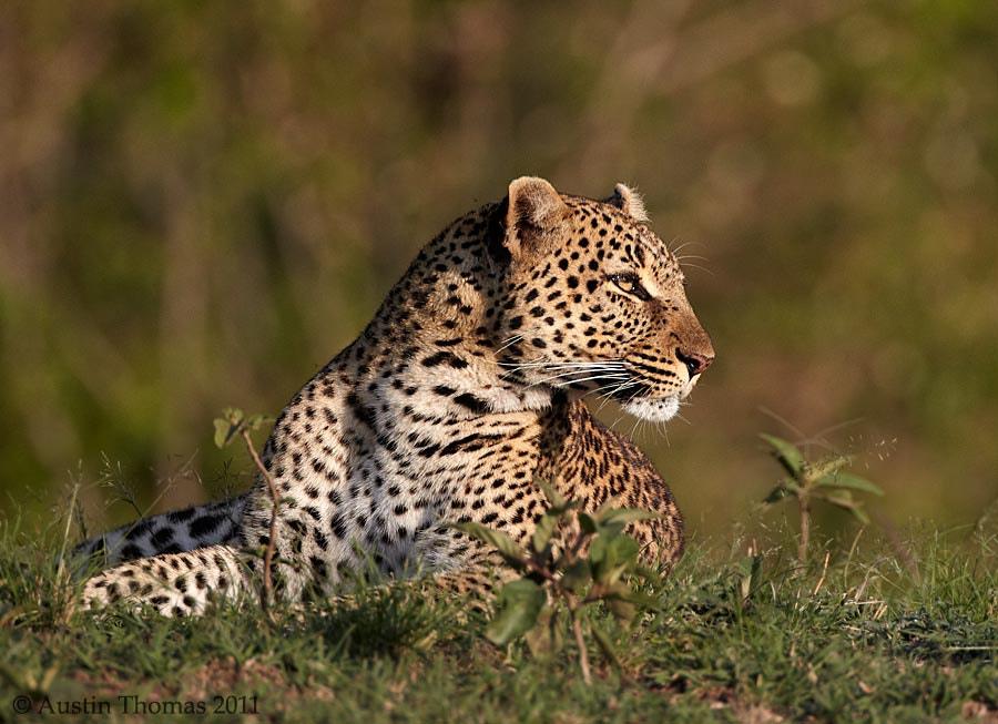 Leopard in the morning sun