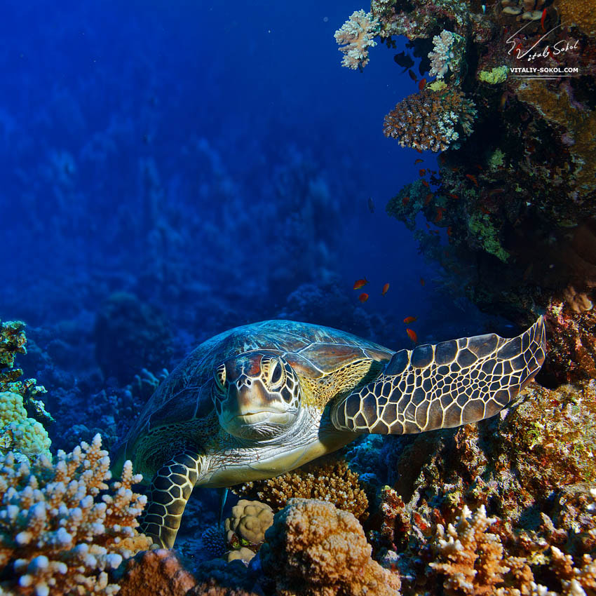 Photograph Red sea diving big sea turtle sitting between corals by Vitaliy Sokol on 500px