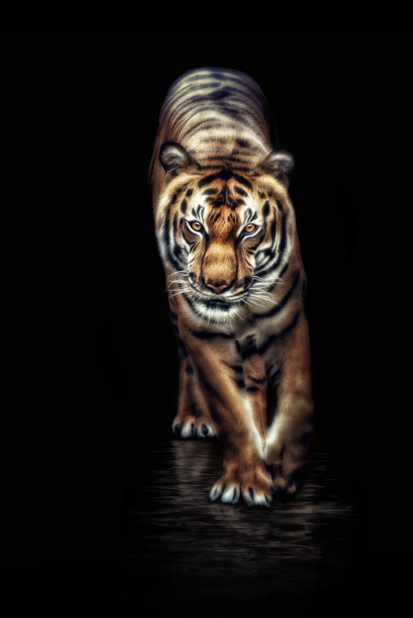 Photograph Indochinese tiger by Manuela Kulpa on 500px
