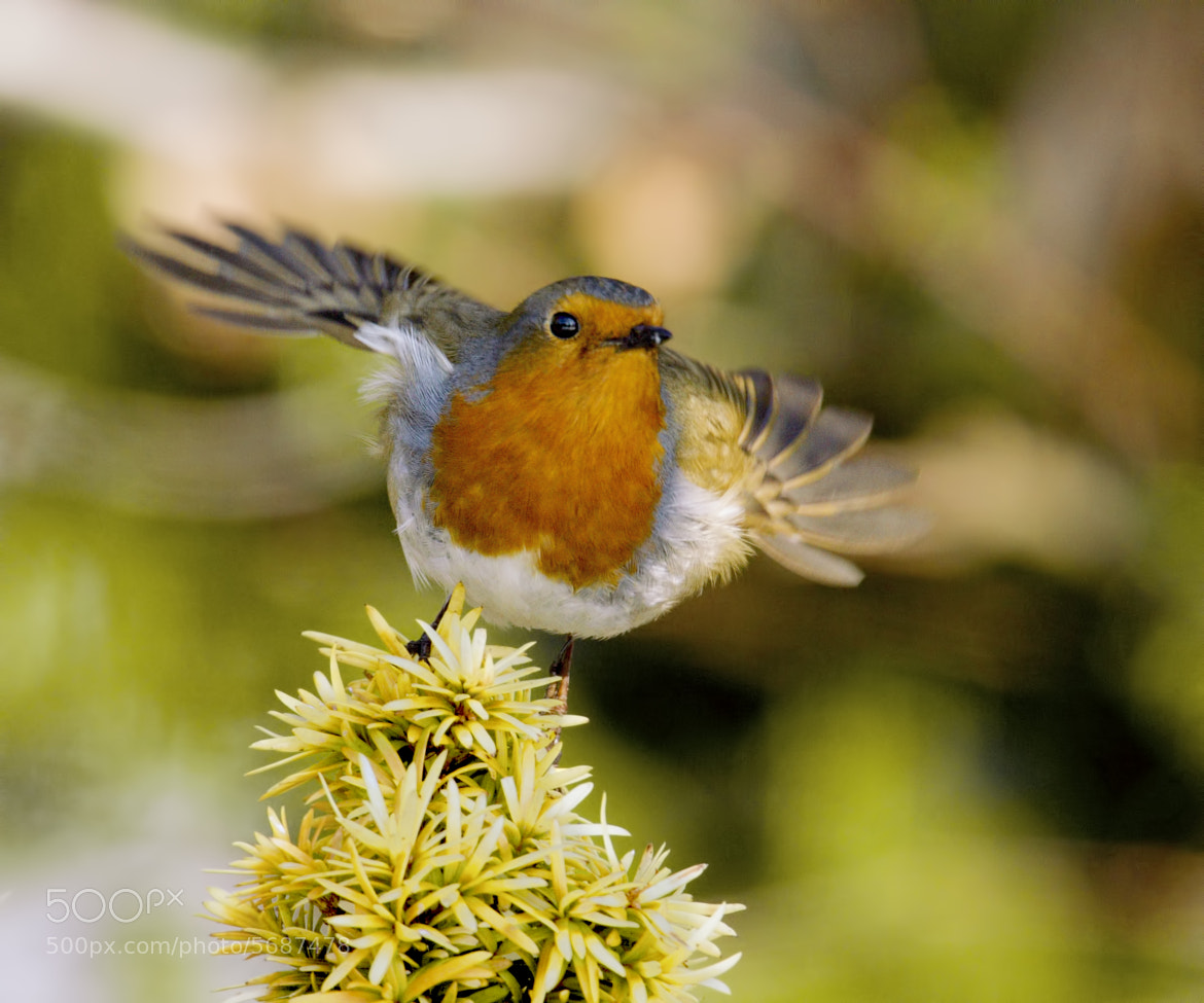Photograph Psychedelic Robin by Sylvia Fresson on 500px