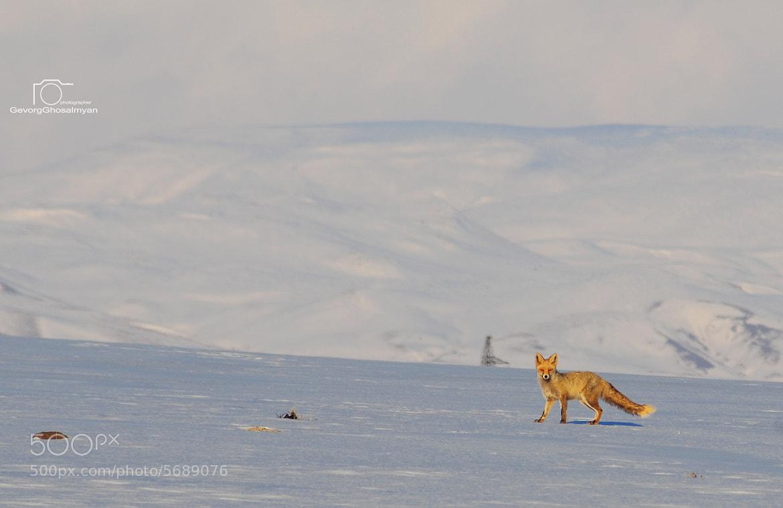 Photograph fox by Gevorg Ghosalmyan on 500px