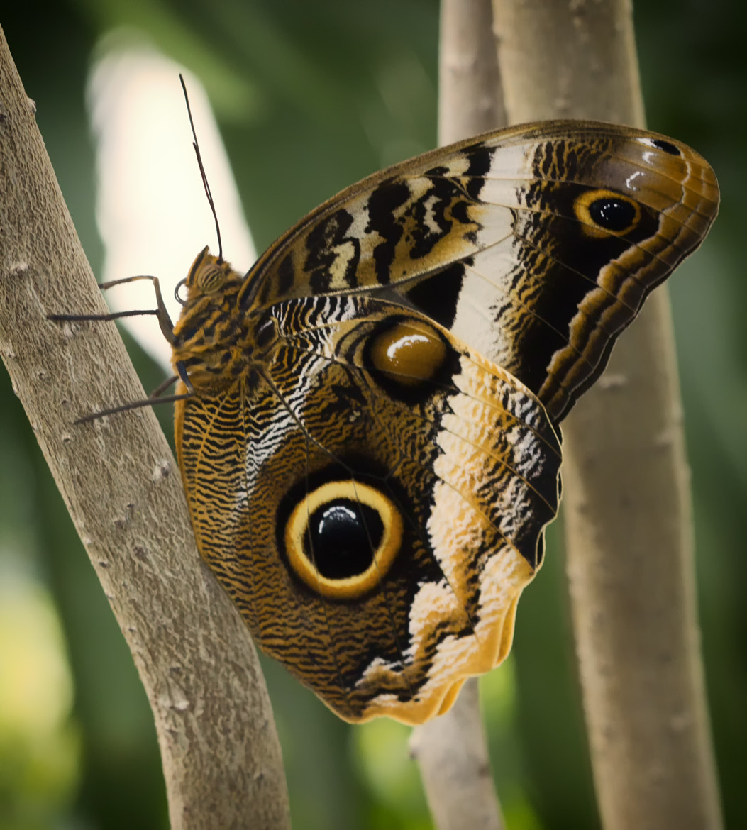 Photograph Owl Butterfly by Bill Tiepelman on 500px