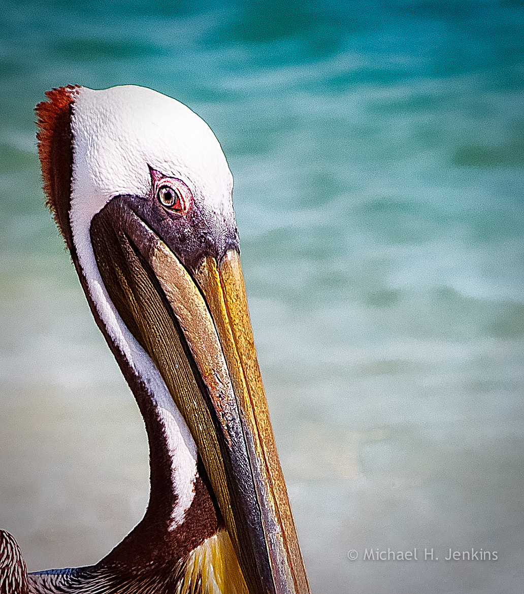 Photograph Pelican by Michael Jenkins on 500px
