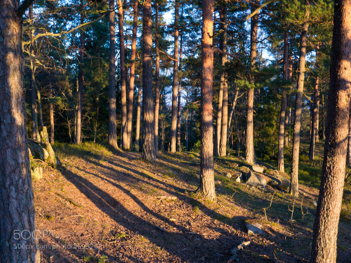 Photograph Long shadows in pinewood by Tom Øyvind Hogstad on 500px