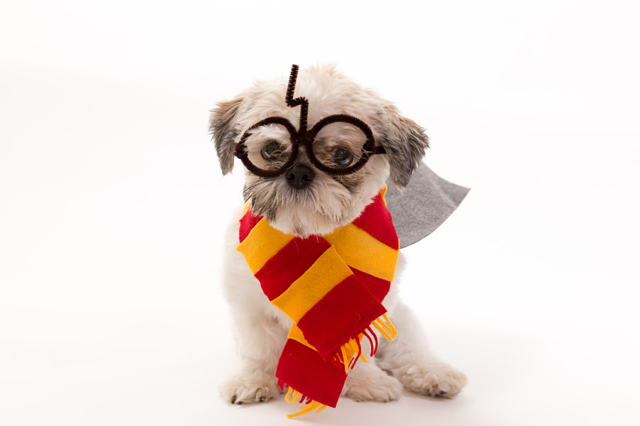 Harry Potter Shih Tzu