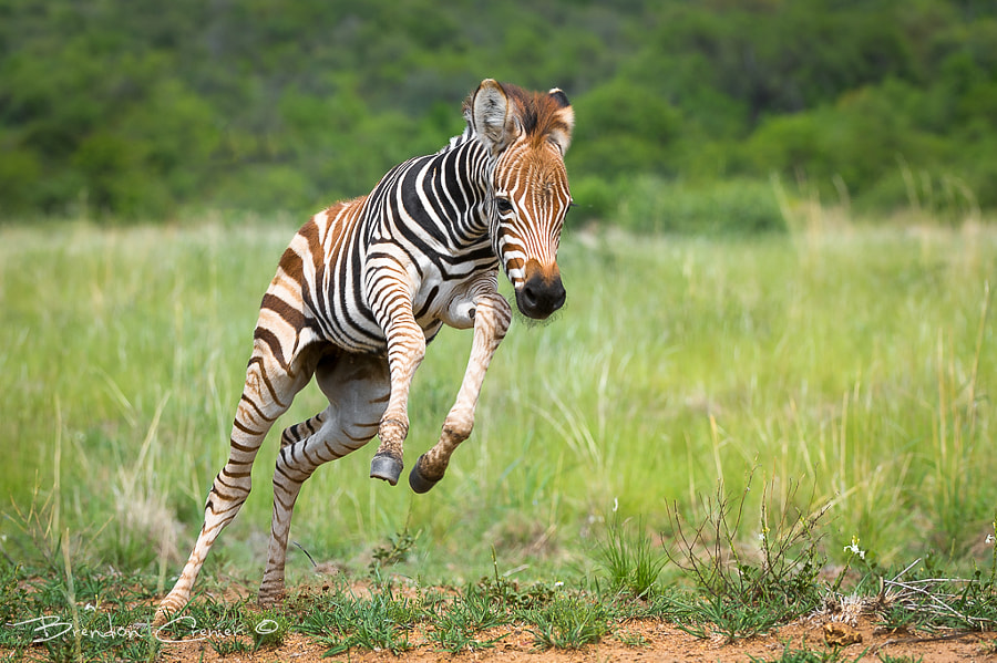 Photograph Zebra Foal by Brendon Cremer on 500px