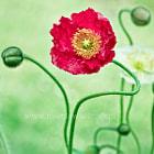 Please follow me on facebook: www.facebook.com/FlowerPhotographer