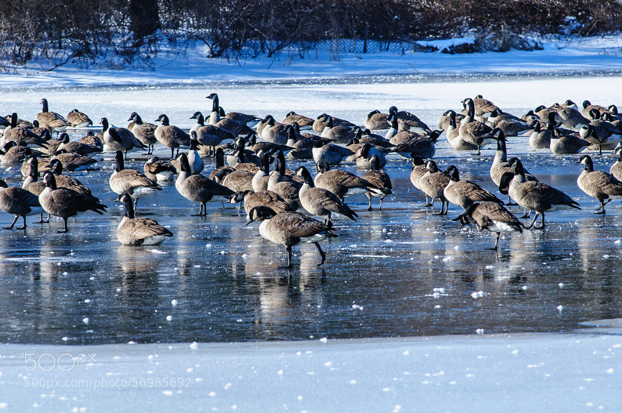 I would love to know what keeps them so warm to sit on ice and sleep, then market it in lightweight clothing.  Now I get to marvel at their ability. How they can stand and sleep on one foot on ice is the second marvel.