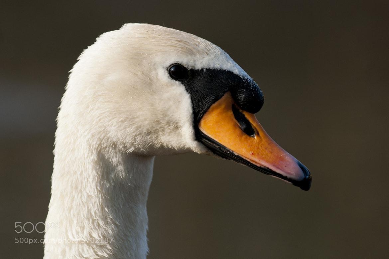 Photograph Swan portrait by Graham Hush on 500px