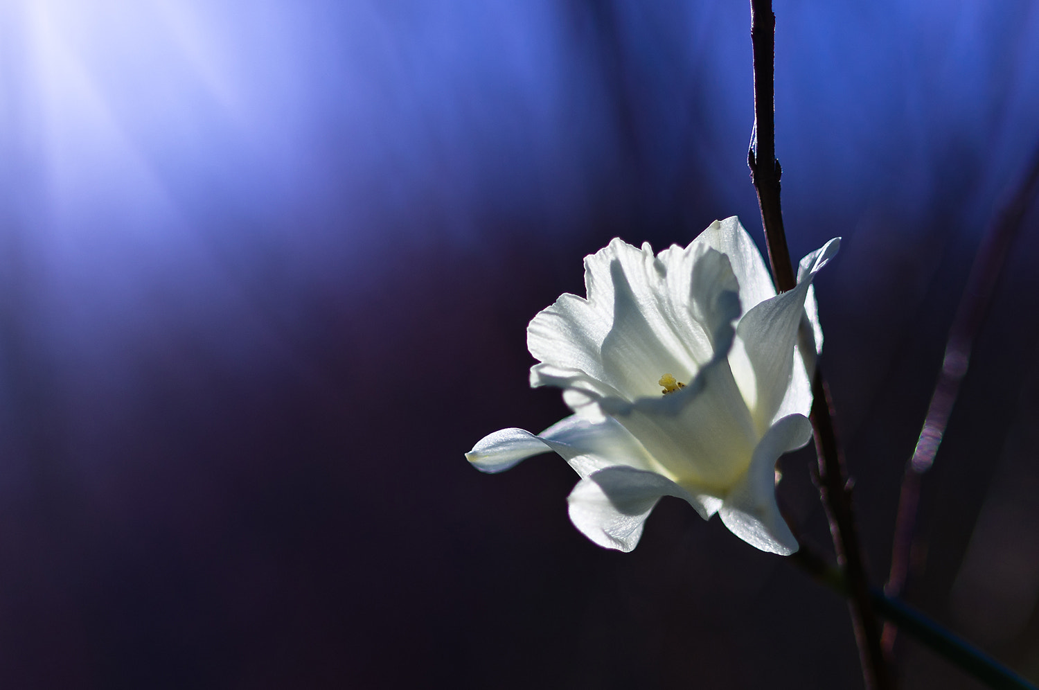 Photograph Daffodil light by Lori Coleman on 500px