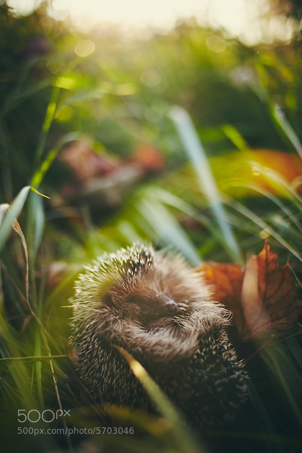 Photograph Sleeping Hedgehog by ?ukasz Walas on 500px