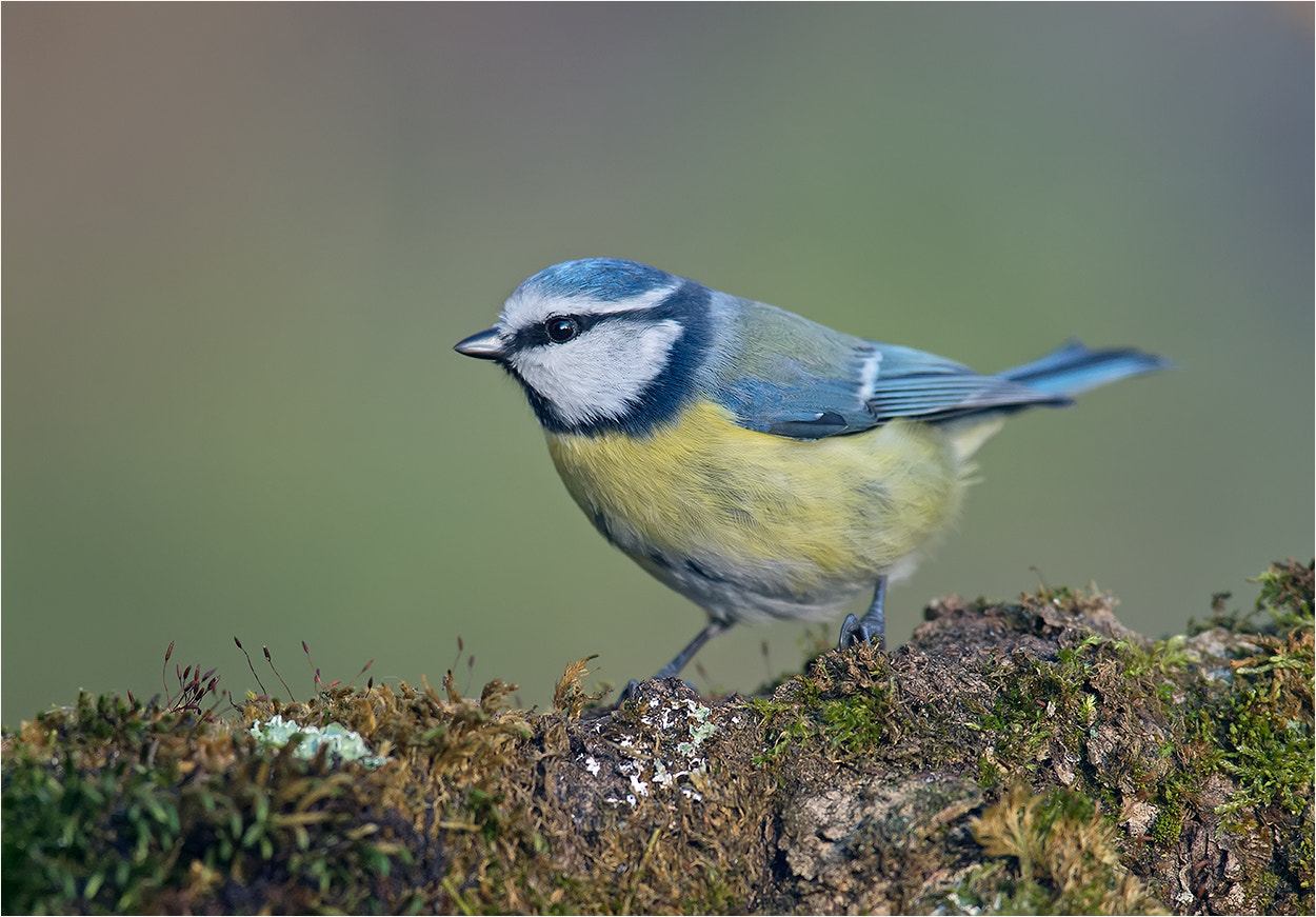 Photograph bluetit / Blaumeise by Hans Rentsch on 500px