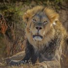 Постер, плакат: A Kalahari Lion Legend