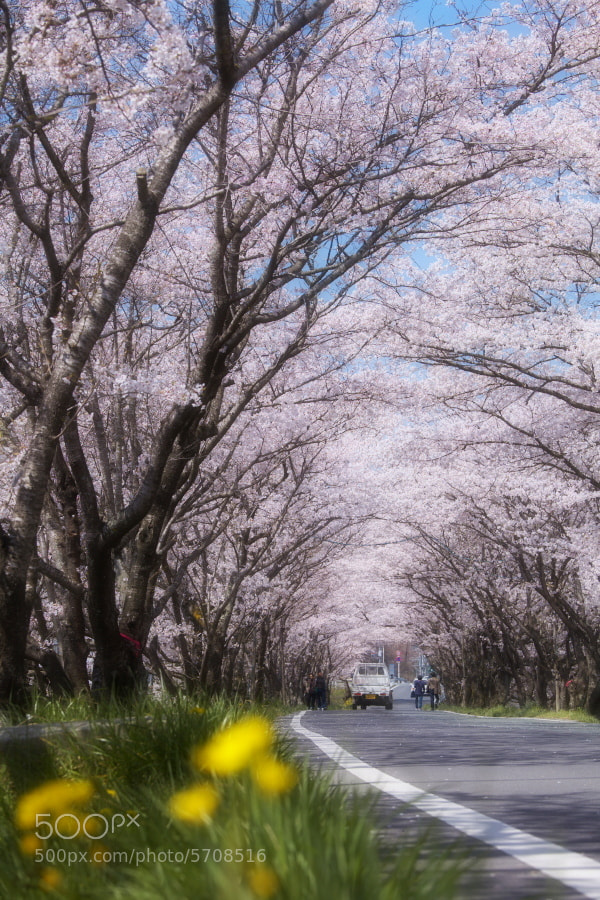 Photograph 桜道 by Tashi_Delek Nakata on 500px