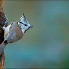 ������, ������: Crested tit