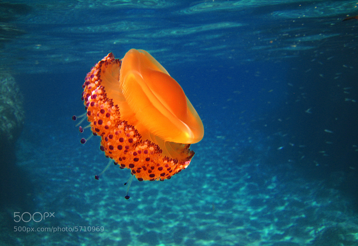 Photograph The lonely jellyfish by Jose Antonio Montoya on 500px