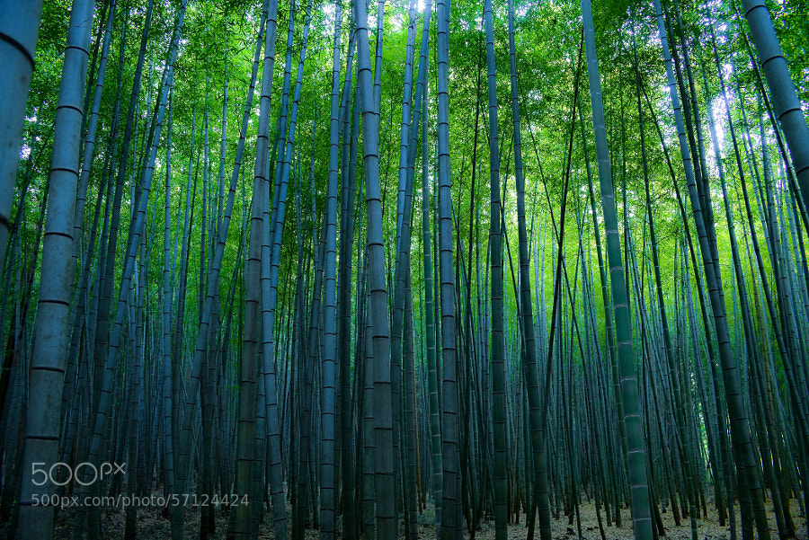 Photograph Forest of bamboo by Kei Kumada on 500px