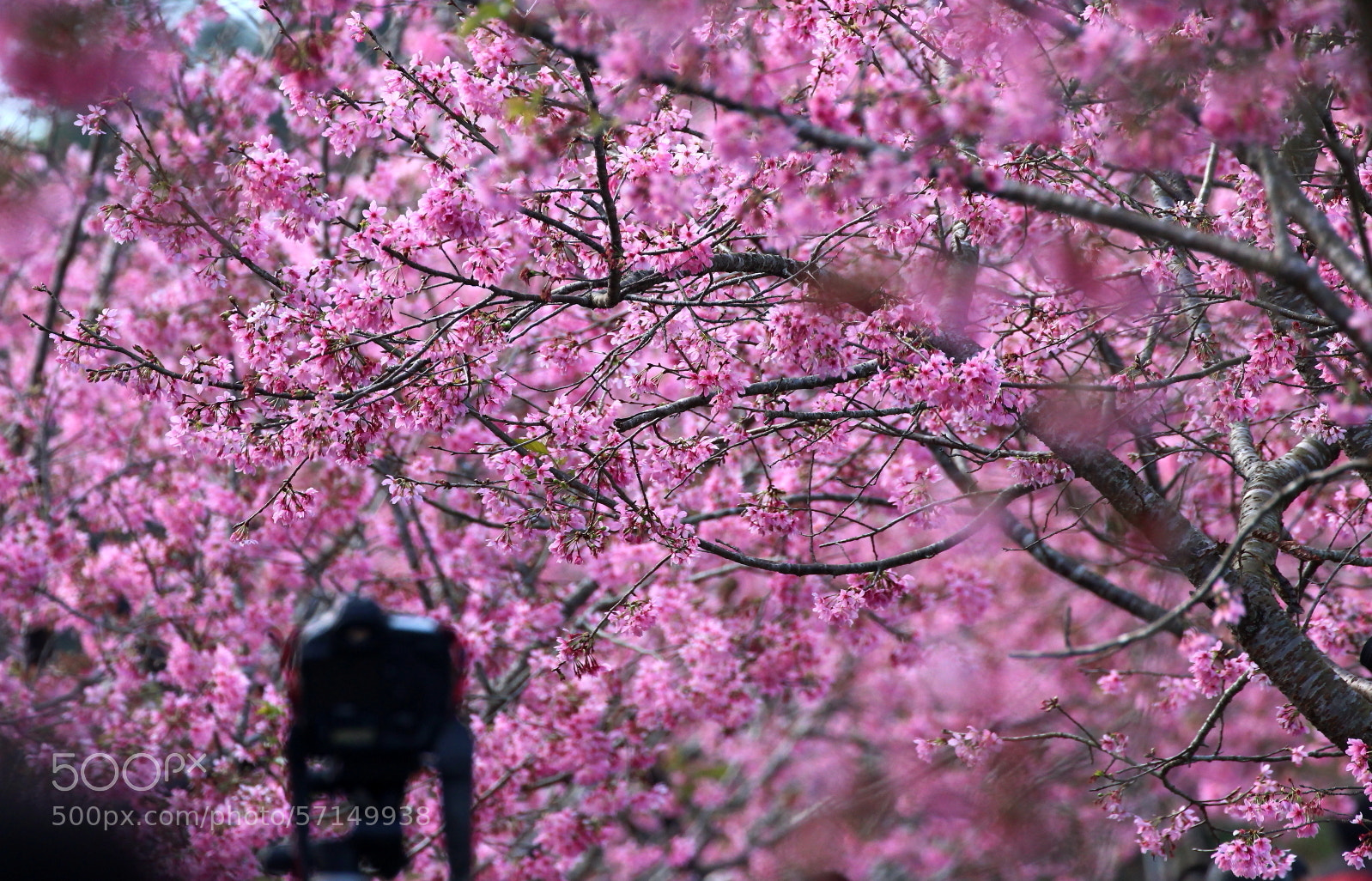 Photograph pink fever by Kay PH on 500px