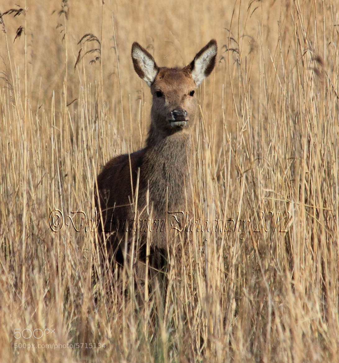 Photograph Red Deer. Dif crop. by Deborah Anderson-Marland on 500px