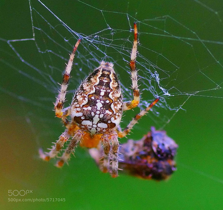 Photograph Spider by Valeriy Chernyak on 500px