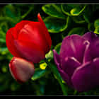 Red an purple tulip