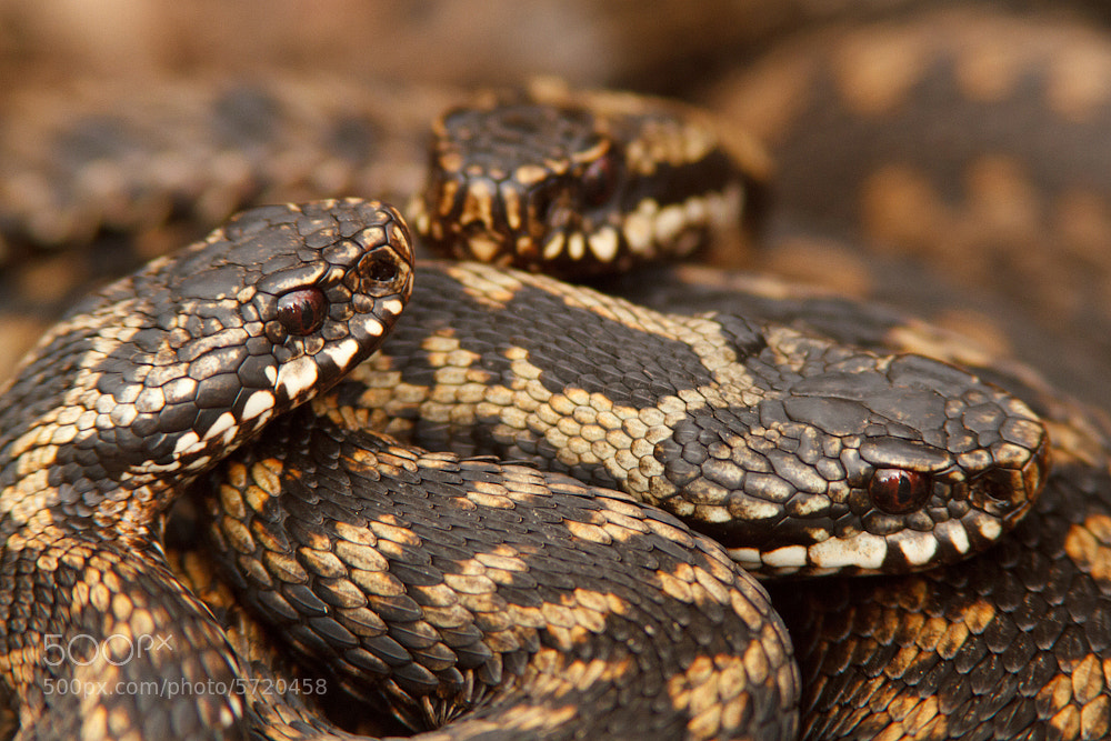Photograph Common viper by Tom  Kruissink on 500px