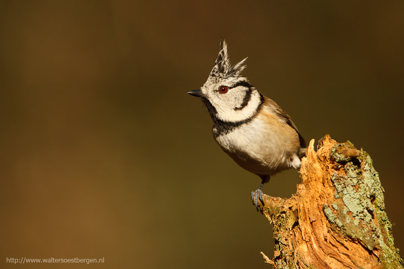 Photograph Crested Tit by Walter Soestbergen on 500px