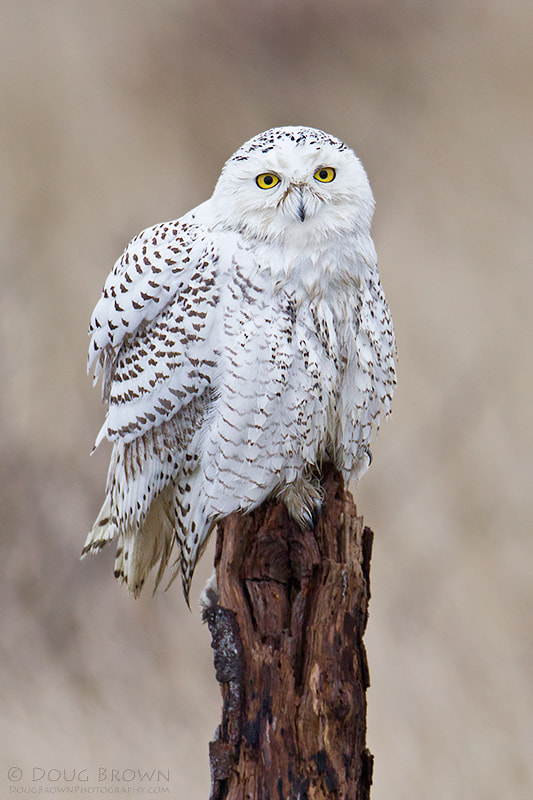 Photograph Snowy Owl by Doug Brown on 500px