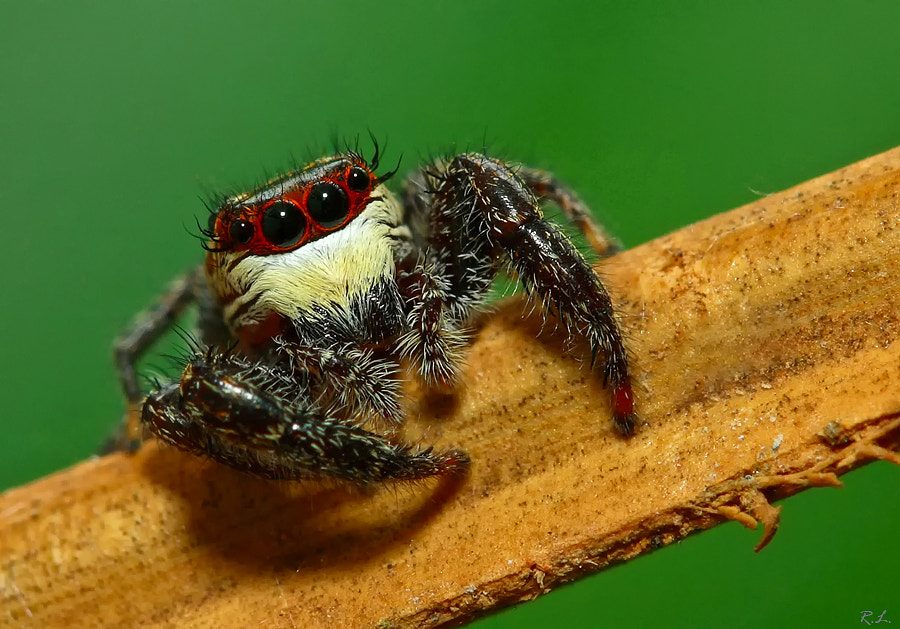 Photograph Jumping spider  by Renato Lourenço on 500px
