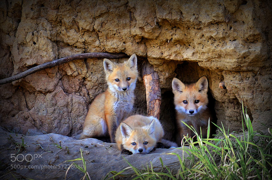 Photograph Fox Family of Wabamun Lake by Reg Faulkner on 500px