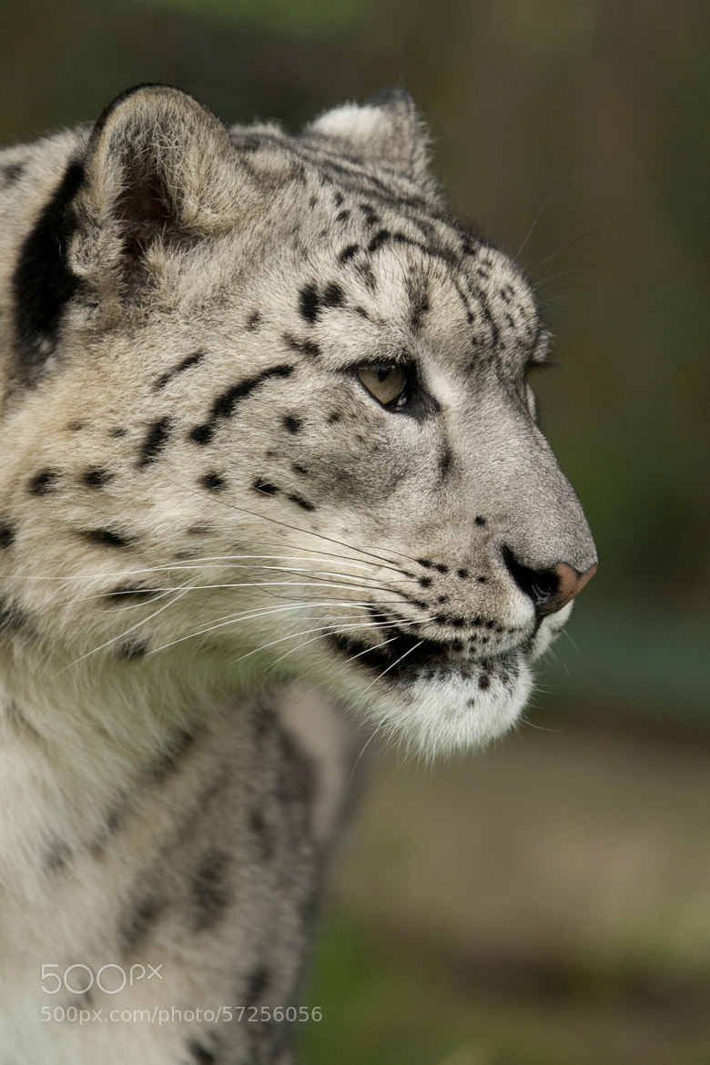 Photograph Snow Leopard by Rose Smith on 500px