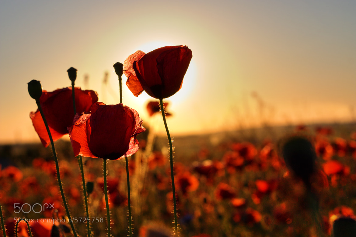 Photograph Poppies by Ole-G-Unnar on 500px