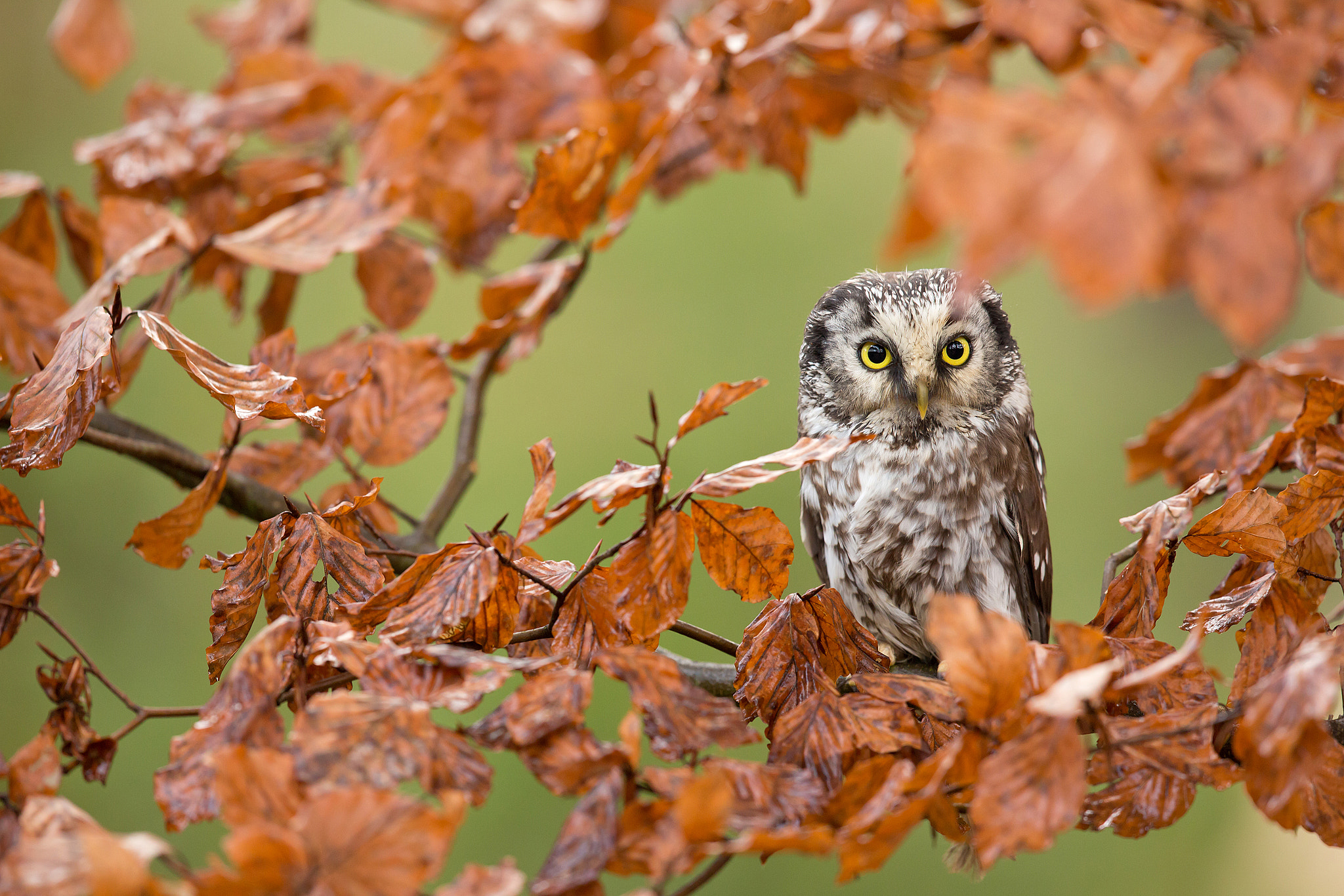 Photograph Tengmalm´s Owl by Milan Zygmunt on 500px